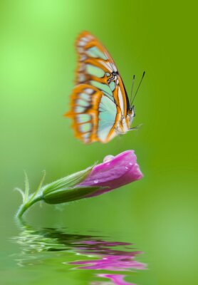 pink flower with water drops and thirsty butterfly