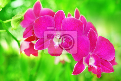 Wall mural Pink orchid