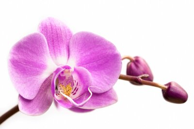 Wall mural Pink orchid flower on a white background.  Orchid flower isolated.