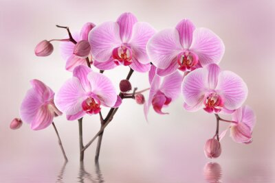 Wall mural Pink orchids flower background design