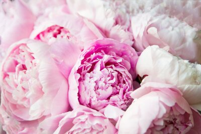 Wall mural Pink peonies blossom background. Flowers.