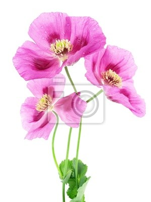 Wall mural pink poppies