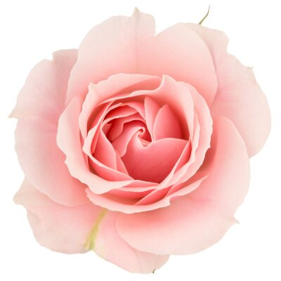 Wall mural Pink rose close up, isolated on white