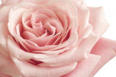 Wall mural pink rose closeup
