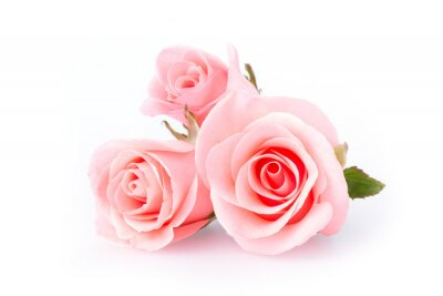 Wall mural pink rose flower on white background