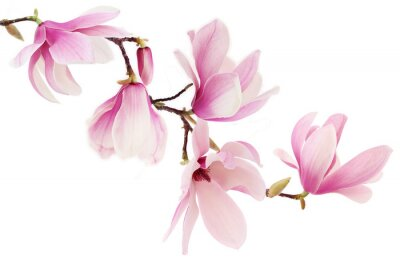 Wall mural Pink spring magnolia flowers branch