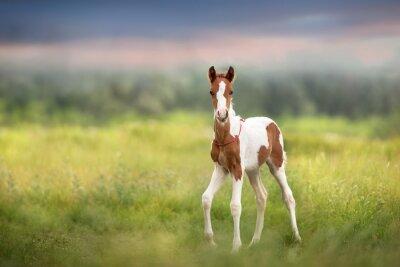 Wall mural Pinto foal walk on meadow