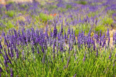 Wall mural plant of blue lavender