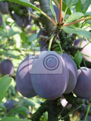 plum hungarian