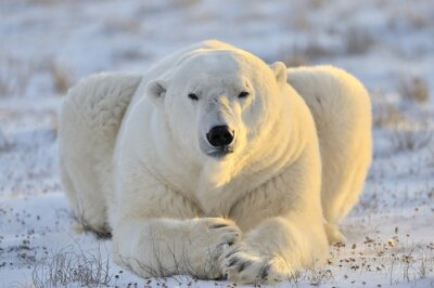 Wall mural Polar bear lying at tundra.
