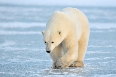 Wall mural Polar Bear walking on blue ice.