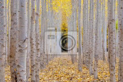 Wall mural Poplar trees on a farm in the Fall Season