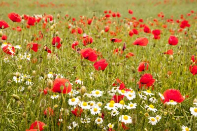Wall mural poppies and cornflowers isolated on white
