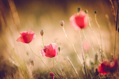 Wall mural Poppies in summer nature field with bright golden light/summer background/spring background