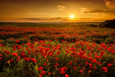 Wall mural Poppy field at sunset