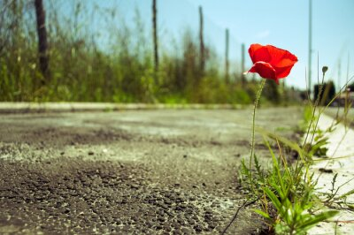 Wall mural Poppy flower in the concrete: power of life concept