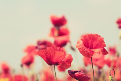 Wall mural Poppy flowers retro peaceful summer background