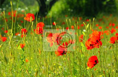 Wall mural Poppy meadow