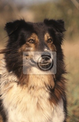 portrait of a dog of the Atlas Mountains - Aidi
