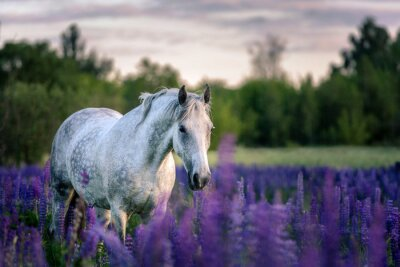Wall mural Portrait of a grey horse among lupine flowers.