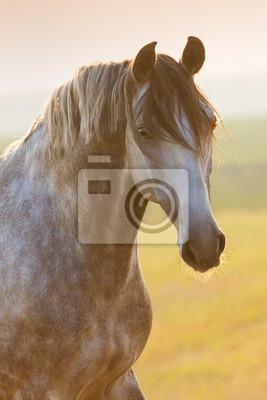 Portrait of beautiful grey lusitano horse at sunrise