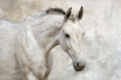 Wall mural Portrait of beautiful white horse against the wall