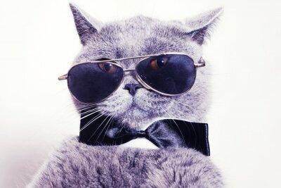 Wall mural Portrait of British shorthair gray cat wearing sunglasses