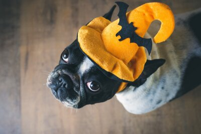 Wall mural Portrait of French bulldog with hat halloween