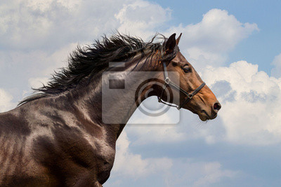 Wall mural Portrait of galloping horse