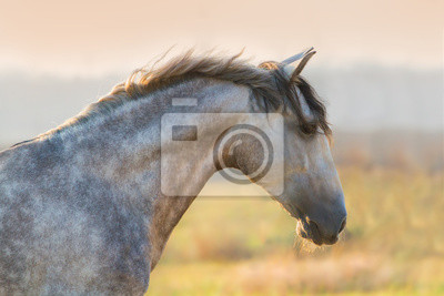Portrait of lusitano stallion at sunrise