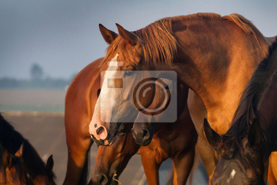 Portrait of red horse in the herd on the farm