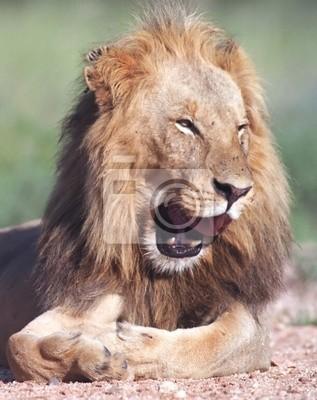 Portrait of smiling lion in Kruger park South Africa