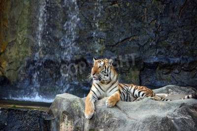Wall mural Portrait of tiger