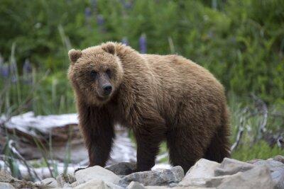 Wall mural Portrait of wild free roaming brown bear