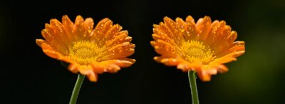 Pot Marigold (Calendula officinalis) with dew drops on blurred dark background. Orange flowering medicinal plant of the family Asteraceae.