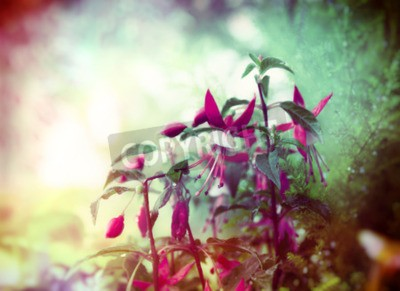 Wall mural Pretty Fuchsia flowers on summer garden background close up toned