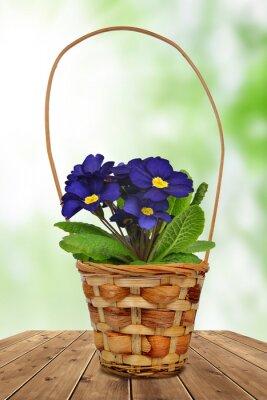 Primrose in pot on green background