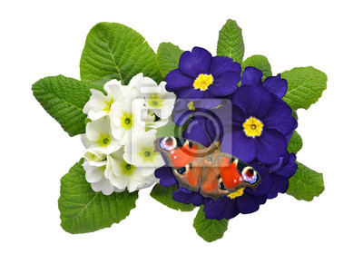 primrose with butterfly isolated on white