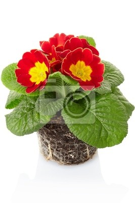 Wall mural Primula, spring flower