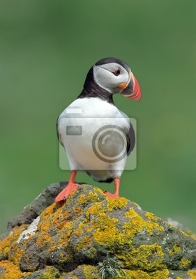 Wall mural Puffin
