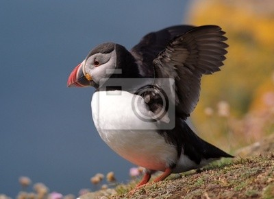 Puffin goitg to fly