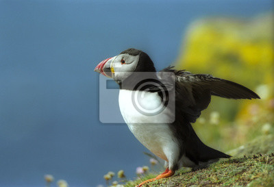 Puffin is going to fly