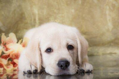 Wall mural Puppy breed labrador