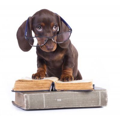 Wall mural purebred dachshund in glasses and book