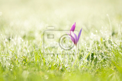 Wall mural purple crocus and early morning grass