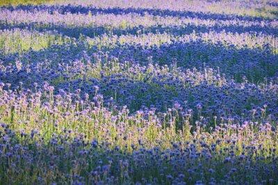 Wall mural Purple flower field