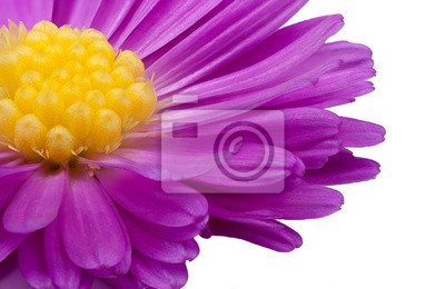 purple flower with yellow center on a white background