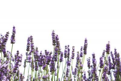 Wall mural Purple lavender flowers