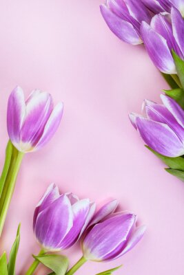 Wall mural Purple tulips on pink background