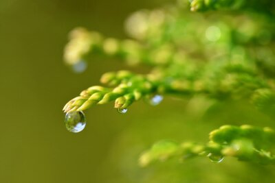 Wall mural Rain drops on Thuja branch close up. Nature background.